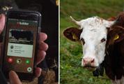 Chuyện lạ: Khi bò cũng có ứng dụng tìm bạn tình