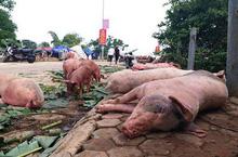 Dự báo giá heo hơi ngày 16/3: Bộ Nông nghiệp xác định nguyên nhân lây lan bệnh dịch tả lợn châu Phi