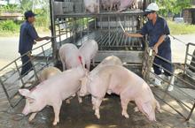 Hoang mang với dịch tả châu Phi: Người chăn nuôi ở 'thủ phủ' heo miền Nam khóc ròng nhìn giá rớt từng ngày
