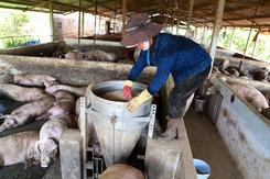 Dịch tả heo châu Phi tiến sát miền Nam: 'Tôi khuyến cáo cho heo ăn cám viên để hạn chế bệnh'