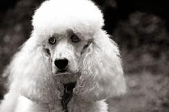 Nguyên nhân gây ra bệnh trầm cảm ở giống chó Poodle