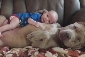 Chó Pitbull có nguy hiểm như những lời đồn đại?