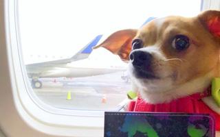 Chú chó ung thư đi du lịch vòng quanh thế giới nhưng thần thái của chú mới là điều khiến dân mạng quan tâm